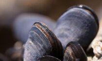 Richiamo alimentare per le cozze con biotossine marine DSP oltre i limiti